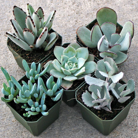 Silver Succulent Collection (5)