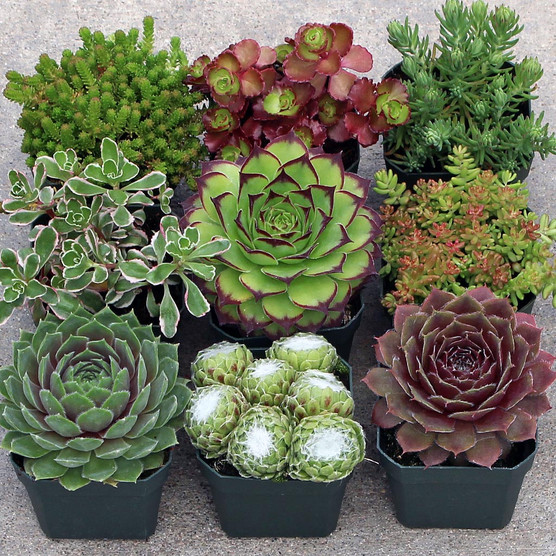 Sempervivum / Sedum Collection - Small (9)