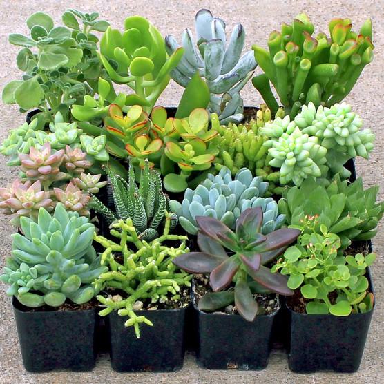 Indoor Succulent Collection (16)