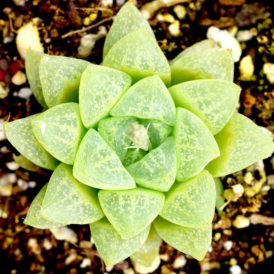 Haworthia turgida v. pullidifolia
