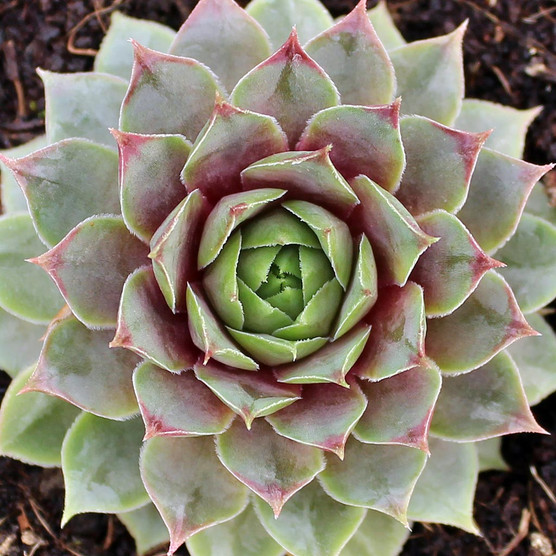 Sempervivum 'C William' - January