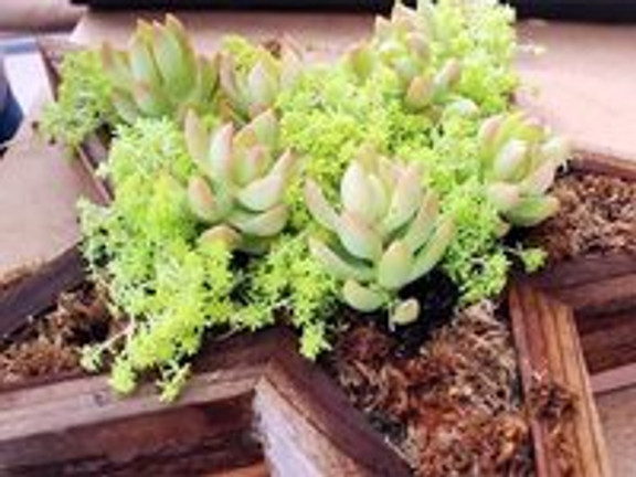 How to make a Vertical Planter with Sedum and Aeonium (video)