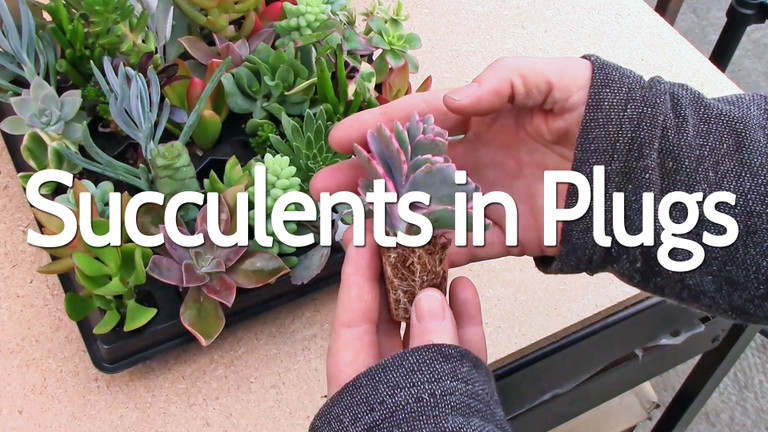 Succulents Plug Trays – An Introduction