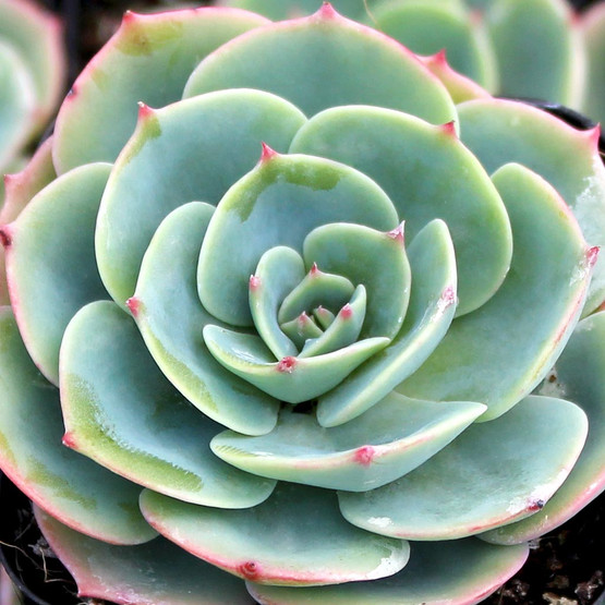 Echeveria Imbricata Blue Rose Echeveria Mountain Crest
