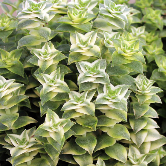 lemon jade sedum how to grow
