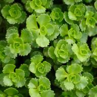 Sedum Stonecrop For Sale Online Mountain Crest Gardens
