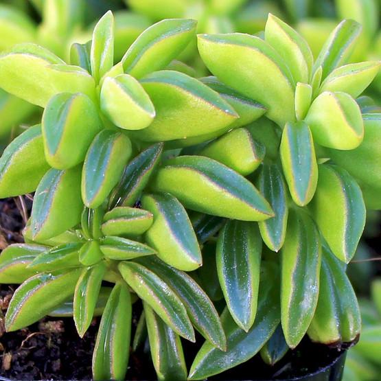 Peperomia Axillaris Mountain Crest Gardens