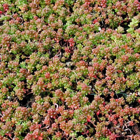 Sedum Album Coral Carpet Sedum Stonecrop