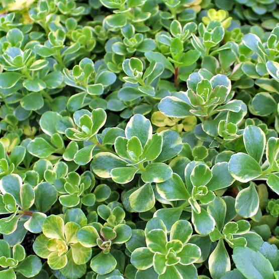 Sedum Kamtschaticum Variegatum Sedum Stonecrop