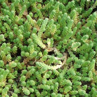 Acre Aureum Sedum Stonecrop