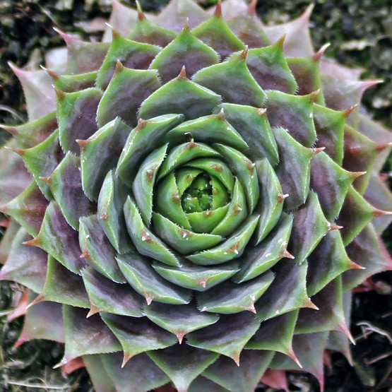 Sempervivum Purple Beauty Mountain Crest Gardens