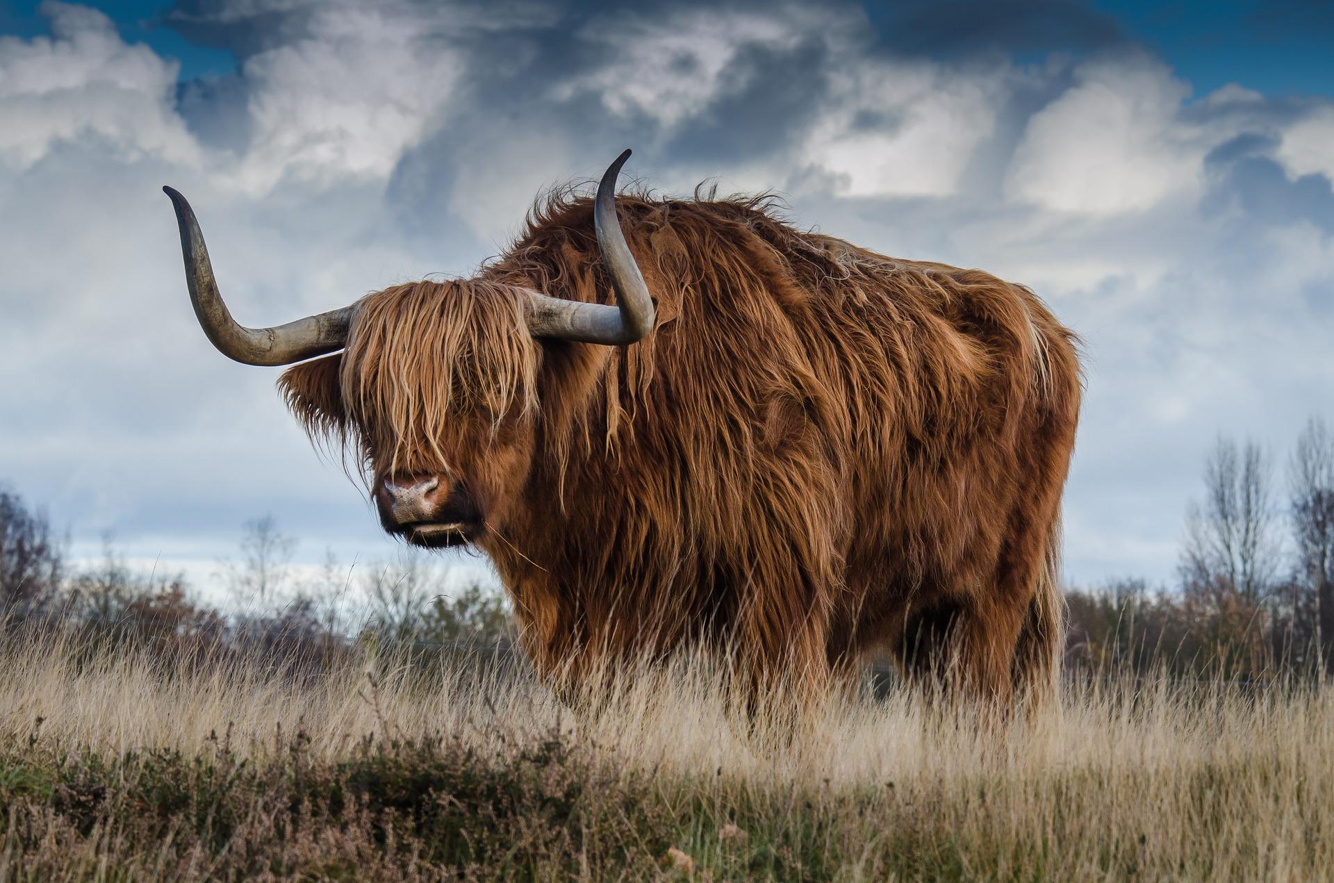 bull-1575003-1920.jpg