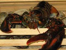 Lobster, Whole - Medium