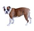 australian-bulldog.jpg
