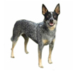 australian-cattle-dog.jpg