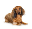dachshund2.jpg