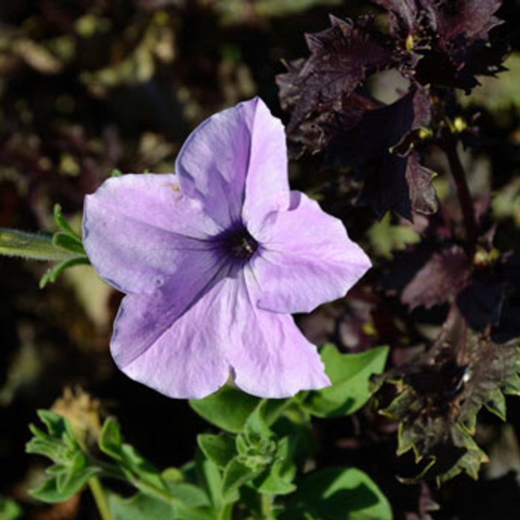 Kentucky Old Fashioned Petunia - (Petunia hybrida)
