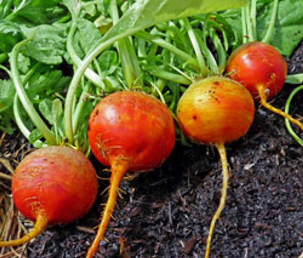 Classic Vegetable Seed Collection - Golden Detroit Beet