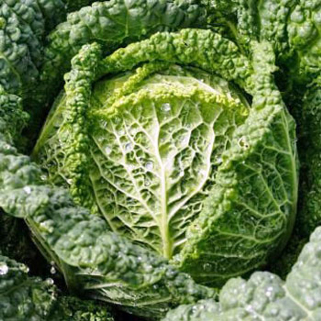 Classic Vegetable Seed Collection - Savoy Perfection Cabbage