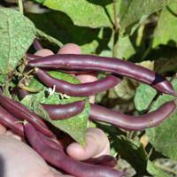 Red Swan Bean - (Phaseolus vulgaris)
