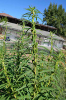 Brown Seed Sesame - (Sesamum indicum)