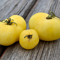 Shah/White Mikado Tomato - (Lycopersicon lycopersicum)