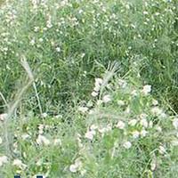 Horizon Forage Pea - (Pisum sativum L.)