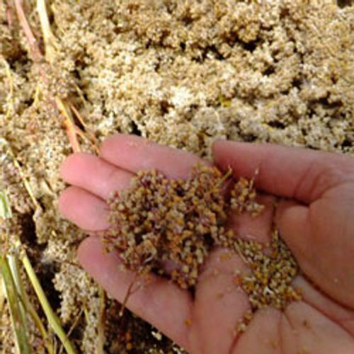 Apellewa Quinoa - (Chenopodium quinoa)