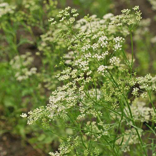 Anise - (Pimpinella anisum)