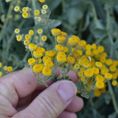 Costmary - (Tanacetum balsamita)