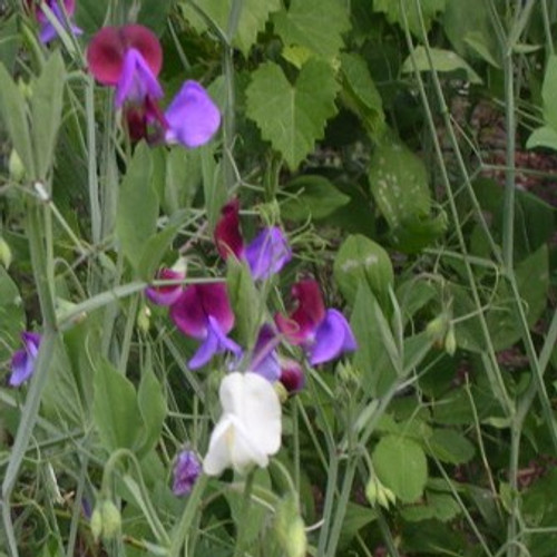 Cupani Sweet Pea - (Lathyrus odoratus)
