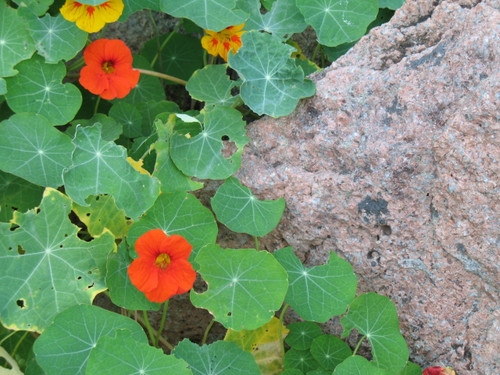 Climbing Nasturtium, Tall Mixture - (Tropaeolum majus)