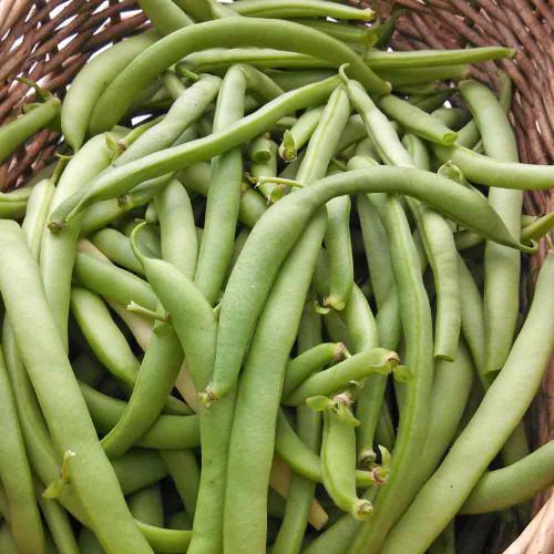 Black Valentine Bush Bean - (Phaseolus vulgaris)
