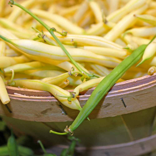 Golden Wax Bean - (Phaseolus vulgaris)