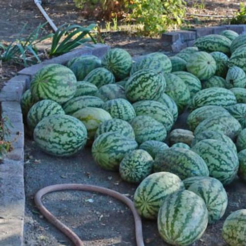 Klondike Striped Watermelon - (Citrullus lanatus)