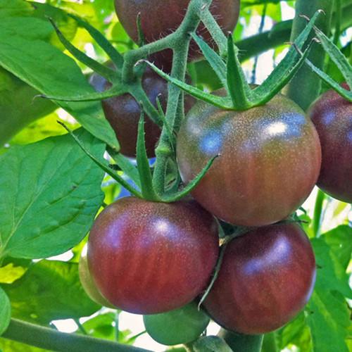 Black Cherry Tomato - (Lycopersicon lycopersicum)