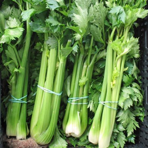 Ventura Celery - (Apium graveolens)