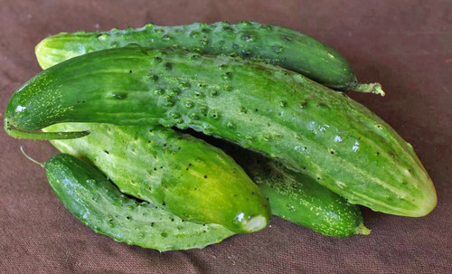 Parisian Pickle Cucumber - (Cucumis sativus)