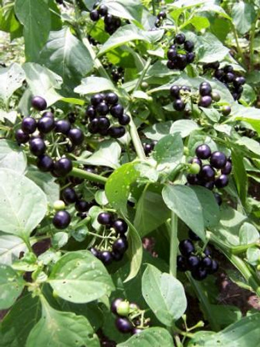 Wonderberry/Sunberry - (Solanum burbankii)