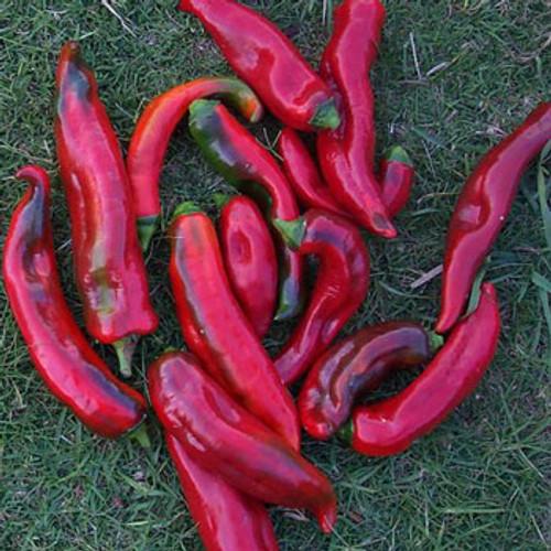 Corno di Toro Rosso Sweet Pepper - (Capsicum annuum)