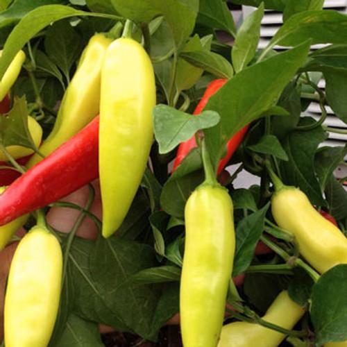 Hungarian Sweet Wax Pepper - (Capsicum annuum)