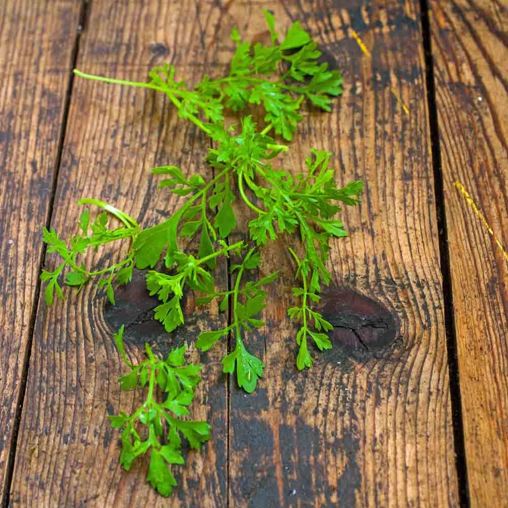 Garden Cress Seeds Terroir Seeds