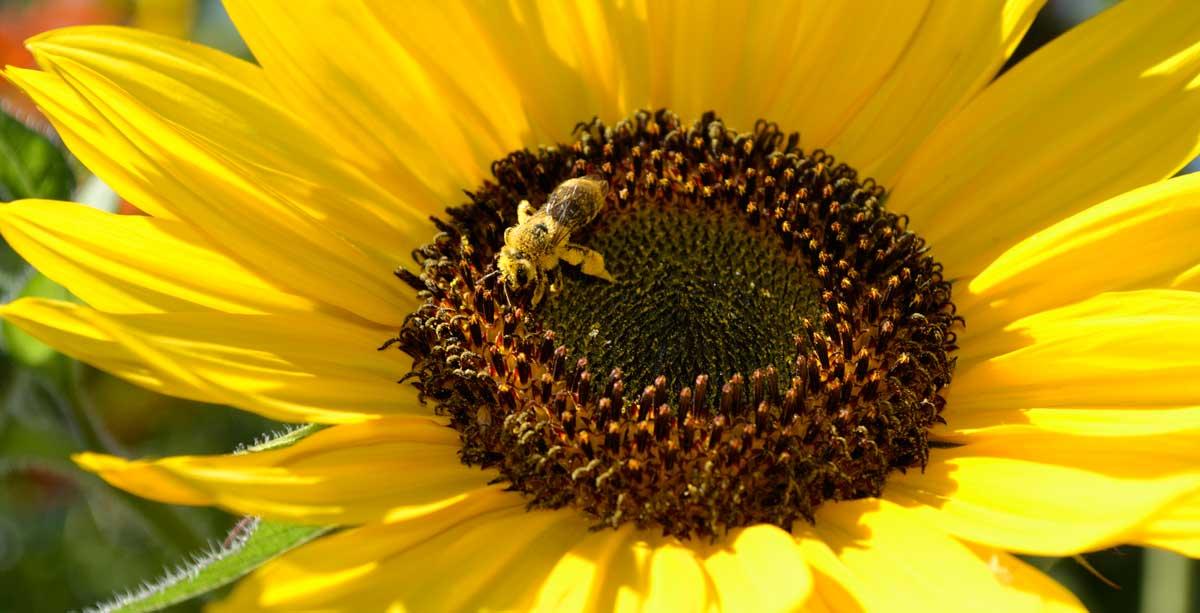 Heirloom flower seeds