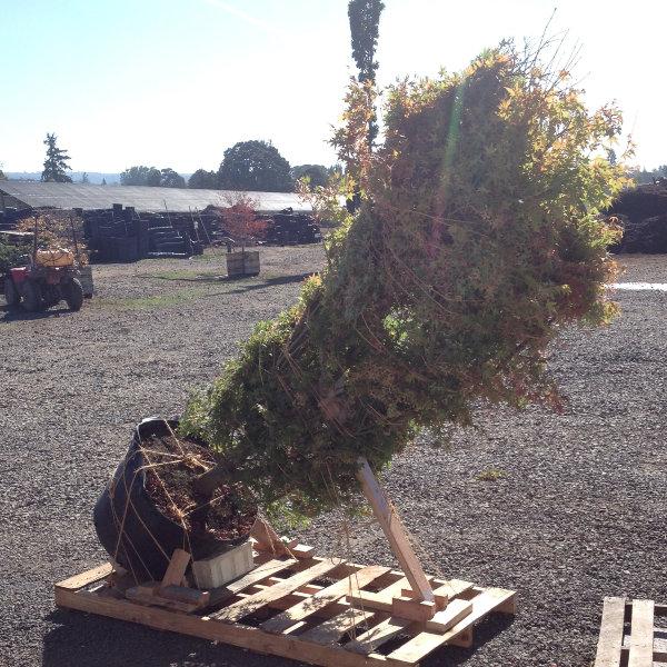 pallet-large-tree2.jpg