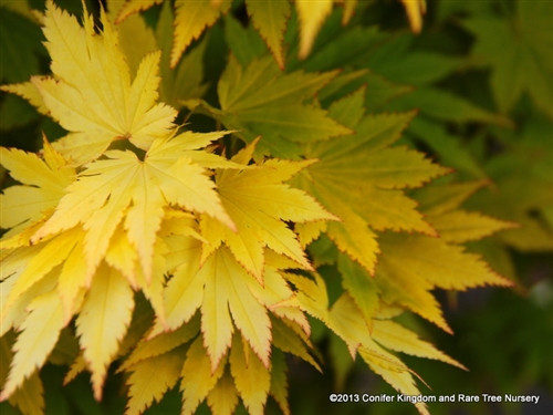 Acer shirasawanum 'Jordan'