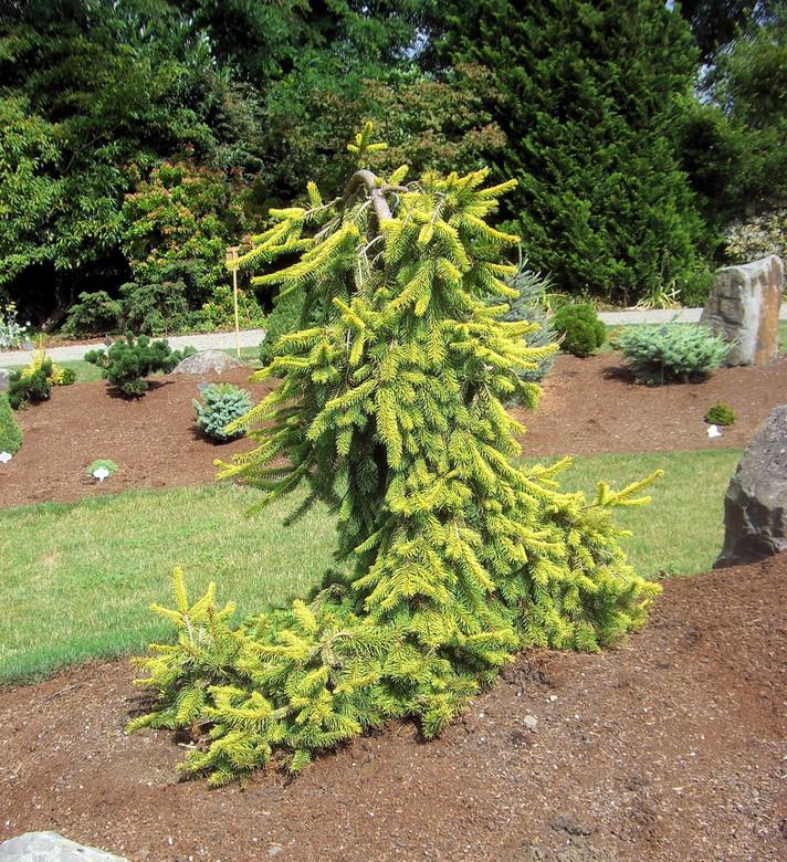 Picea abies 'Gold Drift'