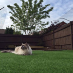 """We recently installed ProtectaPet in our garden for our ragdoll Doozer.It's completely changed his and our lives! He is 'Doozering' around on the AstroTurf watching the birds, catching bugs, purring and rolling around."" Caz Wood, Basingstoke"