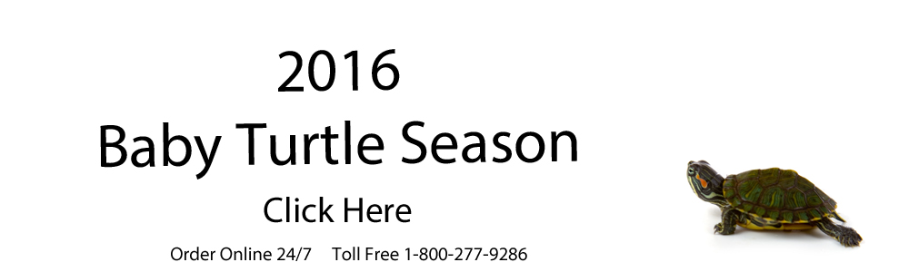 Banner 2016 baby turtle season click here