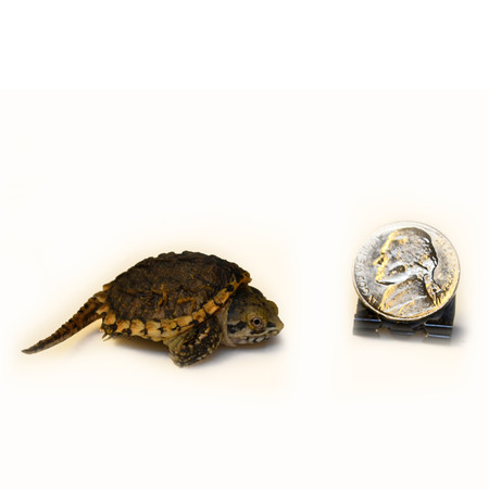 baby hypo snapping turtle