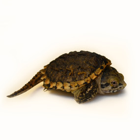 baby hypo snapper turtle for sale
